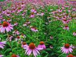 ZECE Plante medicinale CU EFECTE MIRACULOASE daca stii sa le FOLOSESTI!1