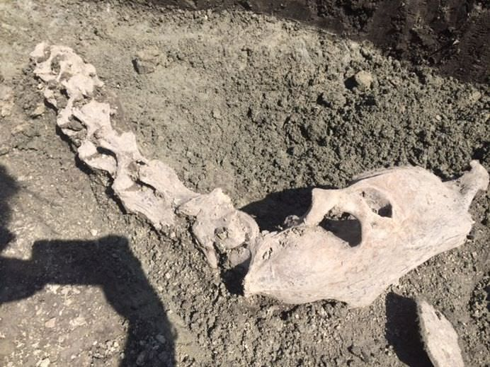 Fragmente din scheletul unei CAMILE, descoperite in Piata Unirii din Timisoara!1