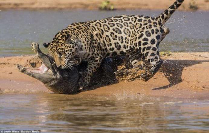IMAGINI FANTASTICE Cine invinge in BATALIA TITANILOR Jaguarul sau crocodilul FOTO VIDEO7