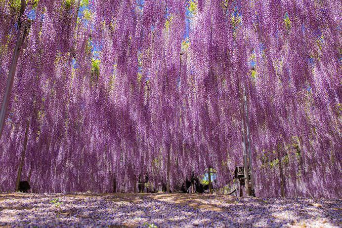 IMAGINI cu PARADISUL ROZ creat de o GLICINA DE 144 DE ANI! GALERIE FOTO11